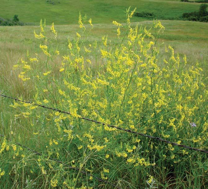 1 lb yellow sweet clover seeds betterbee yellow sweet clover seeds mightylinksfo