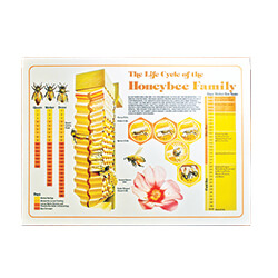 Life Cycle Honey Bee Poster